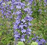 """Great Blue Lobelia """"Lobelia Siphilitica"""" 100 Seeds"""