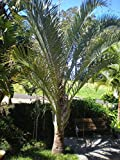 1 Rooted of Neodypsis Decaryi Triangle Palm
