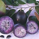 NEW ~PURPLE STAR APPLE~ Caimito Chrysophyllum cainito Rare Fruit Tree LIVE sml PLANT