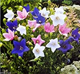 30 Seeds Balloon Flowers Seeds Mix Chinese Bellflower (Jie-geng) Platycodon Grandiflorus