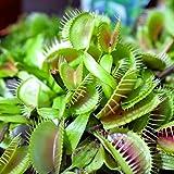 Outsidepride Venus Flytrap Plant Seed - 10 Seeds