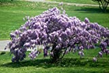 """Chinese Blue Wisteria Tree Flowering Established Rooted - 6 Plants in 2.5"""" Pots"""