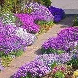 50+ AUBRIETA ROYAL MIX, ROCK CRESS FLOWER SEEDS, PERENNIAL , DEER RESISTANT !