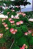 50 MIMOSA / PERSIAN SILK TREE Albizia Julibrissin Seeds