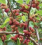 Red Mulberry - Morus rubra 100 seeds (Organically Grown)