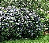 HYDRANGEA SERRATA 'HOKKAIDO - PLANT - 4 INCH POT - CUT BACK - DORMANT