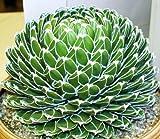 50 Seeds Rare Agave Victoriae-Reginae Exotic Rose Succulent Aloe Hardy Seed