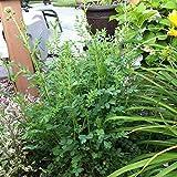 Salad Burnet Organic Seeds (v 425)