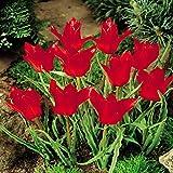 Tulip species Linifolia - 30 flower bulbs