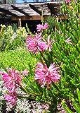 VISA STORE Erica ~ Pink Heath ~ Amazing Shrub ~ 5 Tiny Rare Seeds ~