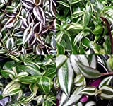 Wandering Jew Mix Plant CUTTINGS House Plant, Excellent Clean Air Plants for Indoor - By Oakland Gardens (Wandering Jew Mix (5 Cuttings))