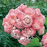 10pcs Genuine Pink Geranium Flowers Seeds Perennial Bonsai Plants Seeds Pelargonium Graveolens Potted for Home and Garden
