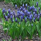 Grape Hyacinth Bulbs (Muscari) - Latifolium - Bag of 100, Spring/Blue Flowers/Drought Tolerant