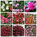 Rare Mix Impatiens walleriana 9 Colors Busy Lizzie Balsam Perennial Flower Seeds, Professional Pack, 20 Seeds / Pack, Bonsai Sultana