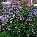 Miss Kim Manchurian Lilac (syringa) - Live Plant - Quart Pot