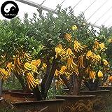 Buy Citrus Medica Sarcodactylis Tree Seeds 120pcs Plant Citron Bergamot Tree