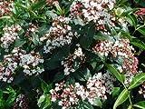 Viburnum tinus Spring Bouquet EVERGREEN VIBURNUM Hardy 1 Plant!
