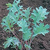 Red Russian Kale Seeds - Heirloom Non GMO 1,000 Seeds