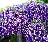 "Spectacular Blue Moon Wisteria Tree Plant 8-11"" Tall Potted Plant Fragrant Flowers Attracks Hummingbirds"