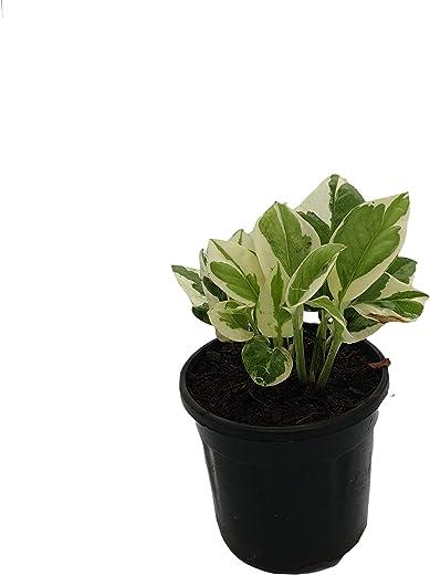 Root Bridges Indoor N'Joy Money Plant (Pot included)