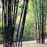 100pcs Garden Black Bamboo Seeds Courtyard Phyllostachys Nigra Plants