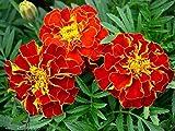 Marigold Flower Seeds Red cherry (tagetes patula) from Ukraine