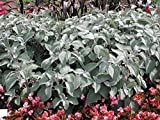 Silver Shield Plectranthus 15 Seeds an Unbelieveably Beautiful Foliage Plant