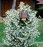 December01 &Trachelospermum jasminoides evergreen star jasmine climbing plant