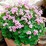 30 Pink Pillow Shamrock Bulbs not plant- Indoors/Out - Oxalis articulata A Wooded square pot included