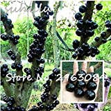 Ornamental Plant Plinia Cauliflora Seeds 100Pcs Family Myrtaceae Jabuticaba Fruit Seeds Novel Plant Brazilian Grape Tree Seeds