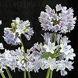 "Summer Skies Agapanthus Plant - Long Summer Blooms - 2x3"" Pot"