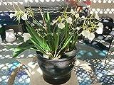 Orchid Fragrant Cattleya Brassovola nodosa Little Star Exotic Tropical