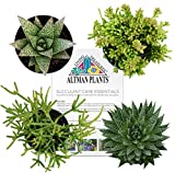 "Altman Plants Assorted Live Succulents Desk Buddy Collection Easy care plants for Indoor, Office, Kitchen, 2.5"", 4 Pack"