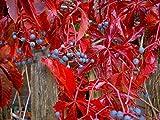 Virginia Creeper Vine, Parthenocissus Quinquefolia, 20 Seeds