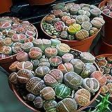 50 Seeds Mix Lithops Seeds Mix Varieties Succulents Seeds Succulents Bonsai Home Garden