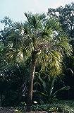 10 Seeds Sabal Palmetto Palmetto Palm