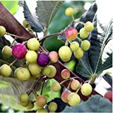 LovelyGarden Sherbet Berry Grewia asiatica Live Plant Falsa Phalsa Fruit