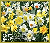 Mixed Daffodils (25 Bulbs) - Assorted Colors Daffodil Narcissus Bulbs by Willard & May