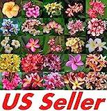 "Plumeria Rubra Seeds 50+ SEEDS G71 FRANGIPANI ASSORTED "" MIXED SET"