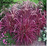 Mr.seeds-Half-Hardy Perennial Fountain Grass Pennisetum Setaceum Fireworks Seeds , 50 Seeds / Bag, Pennisetum Seed
