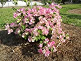 LIVE ImperialDelightBougainvillea aka Boug. 'Imperial Thai' Staked Plant Fit 05 Gallon Pot