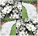 500 x Snow in Summer FLOWER SEED - Cerastium tomentosum - Perfect For Borders & Rock Gardens - Zones 3-10 - By MySeeds.Co