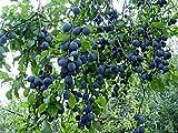 Blue Damson Plum Tree Semi-Dwarf - Healthy Established - 1 Plant in 1 Gallon Pot
