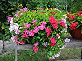 Catharanthus roseus annual Flower seeds