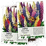 Seed Needs, Lupine Russell Mixture (Lupinus polyphyllus) Twin Pack of 250 Seeds Each