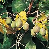 Homegrown Kiwi Seeds, 200, Anna Hardy Kiwi