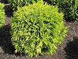 6 Year PLANT of Thuja Occidentalis Golden Globe