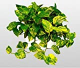 "jmbamboo-Golden Devil's Ivy - Pothos - Epipremnum - 4.5"" Hanging Pot - Very Easy to Grow"
