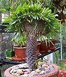 Mdagascar Palm tree seeds pachypodium lamerei rare Indoor bonsai tree seed outdoor Succulent Plant seeds 2pcs/bag