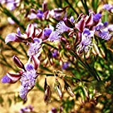 Chinese Senega Seeds (Polygala tenuifolia) 100+ Rare Medicinal Herb Seeds + FREE Bonus 6 Variety Seed Pk - a .95 Value! FROZEN SEED CAPSULES for Growing Seeds Now or Saving Seeds for Years